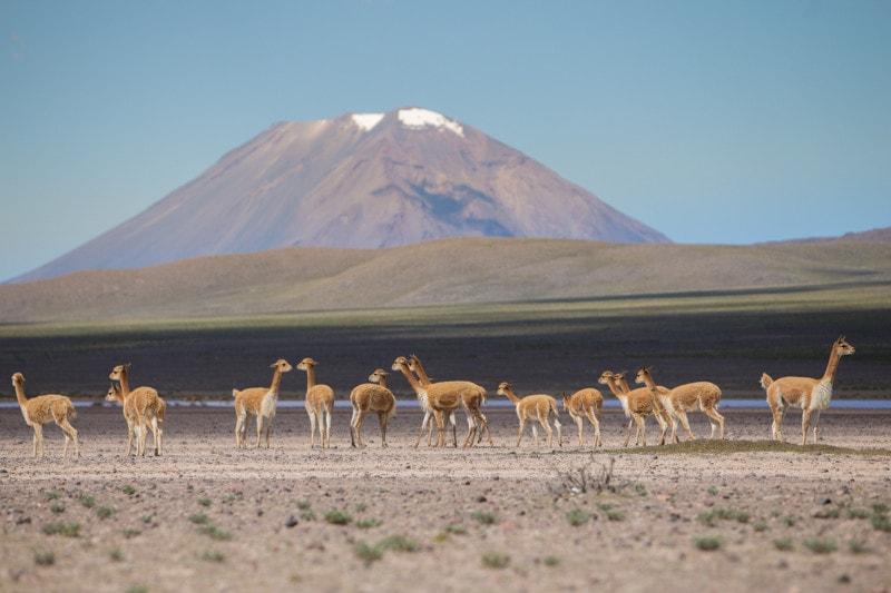 Vicuna, Peru