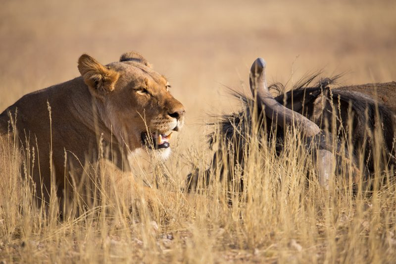 lion kill, Kgalagadi Transfrontier Park