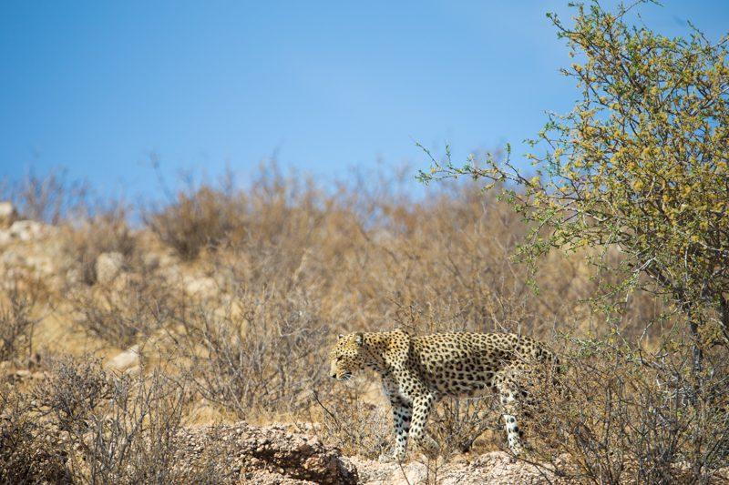 Leopard, Kgalagadi Transfrontier Park
