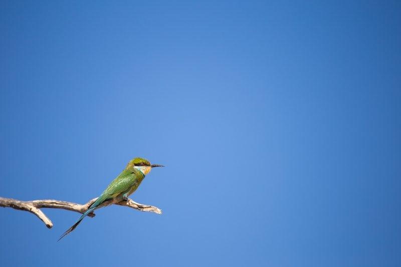 Bee Eater, Kgalagadi Transfrontier Park