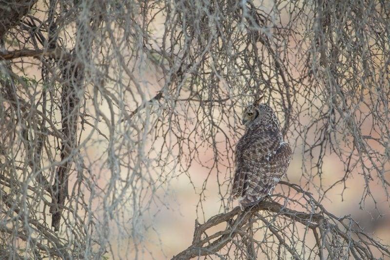 owl, Kgalagadi Transfrontier Park