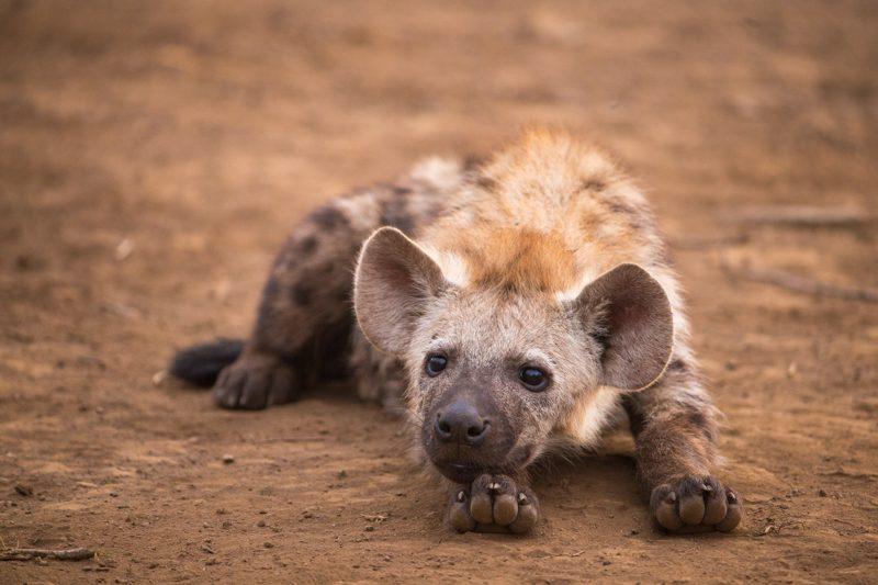 baby hyena.