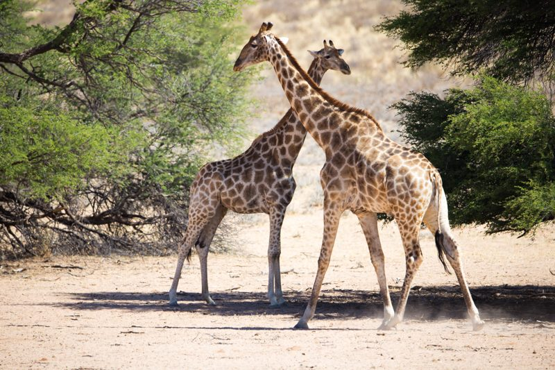 Giraffe, Kgalagadi Transfrontier Park