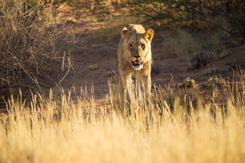 lion, Kgalagadi Transfrontier Park