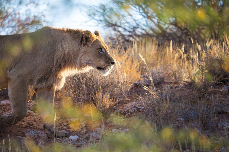 Lions, Kgalagadi Transfrontier Park