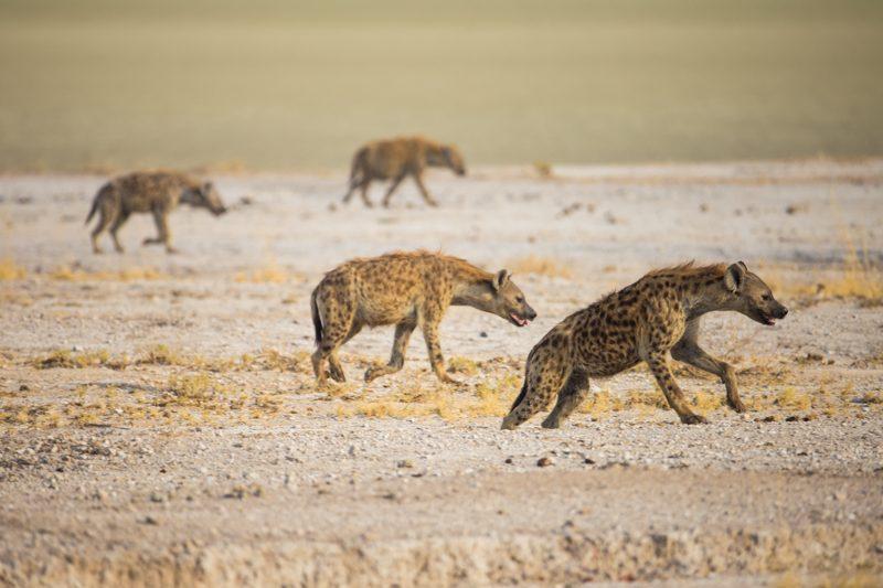 hyenas etosha
