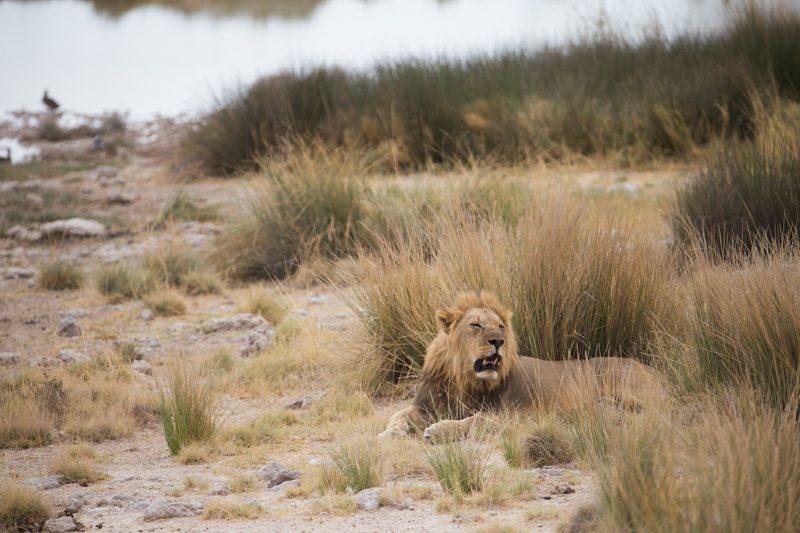 Lion etosha
